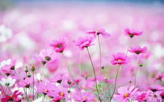 розовый, поле, cvety, зуб, они, treatment, suggest