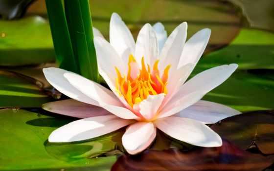 lily, водяная, кувшинка, lotus, цветы, белая, розовый, пруд, макро, листва, water,