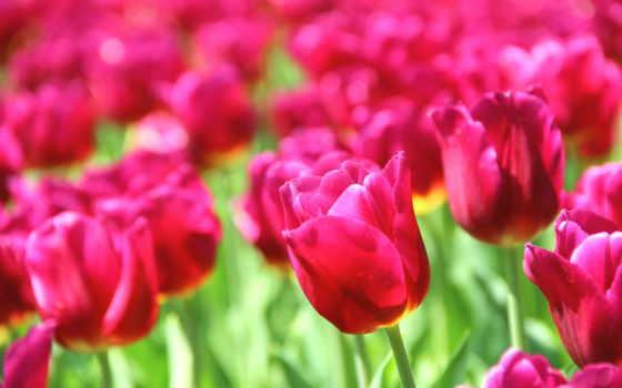 тюльпаны, cvety, flowers, природа, you, красивые, розовые,