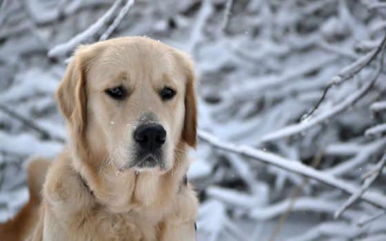 собака, winter, свет, природа, собаки, снег, морда, retriever, нос,