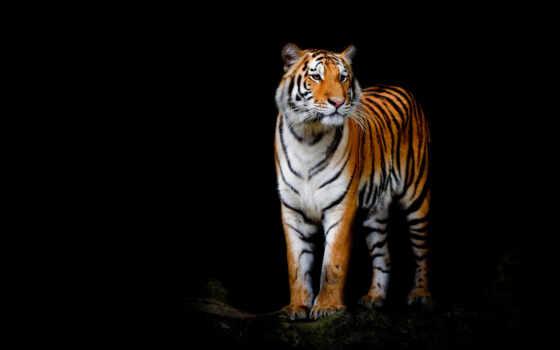 тигр, black, кот, animal, wild, глаза, isolate, поза, плакат