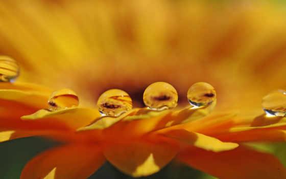 макро, капли, water, цветы, лепестки, оранжевый, день, эколога, branch, para,