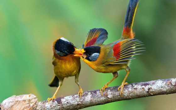 птицы, mesia, silver, eared, еда, branch, leiothrichidae, kong, картинка,