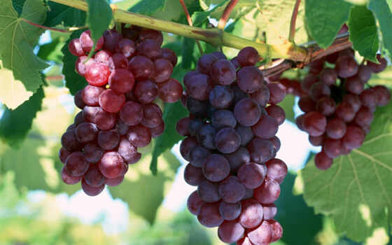 grapes, türk