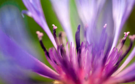 flowers, цветы, purple, gentle, розовый, white, size, color, лепестки,