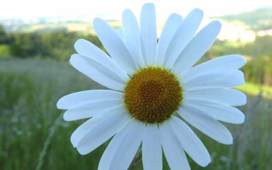 ромашки, ромашка, красивые, cvety, summer, свой, обсуждение, рoмашек, liveinternet, just,