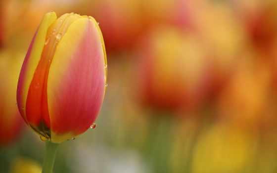 , красный, желтый, тюльпан,