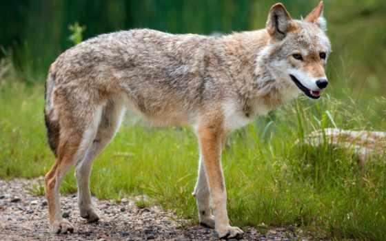 природа, волк, собака, fondos, фон, summer,