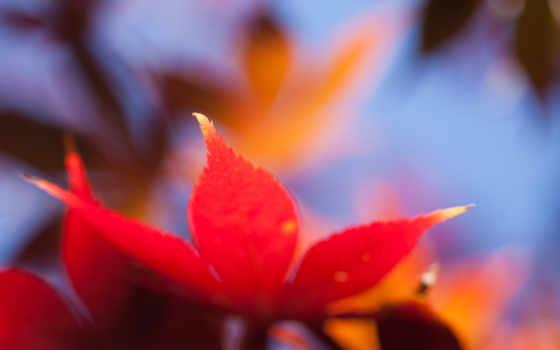 maple, браун, лист, red, desktop,
