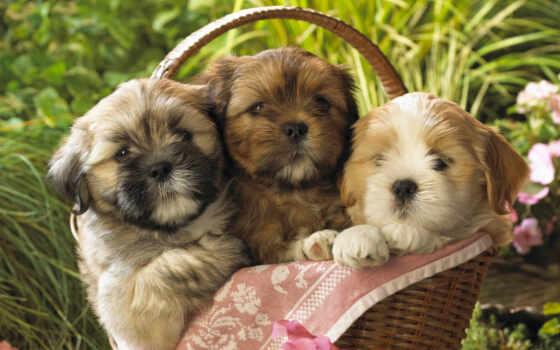щенок, собака, lhas, коллекция, free