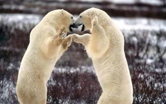 медведи, белых, пары, медведь,