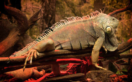 iguana, reptile, дереве, лошадь, дерево, летним, днем,
