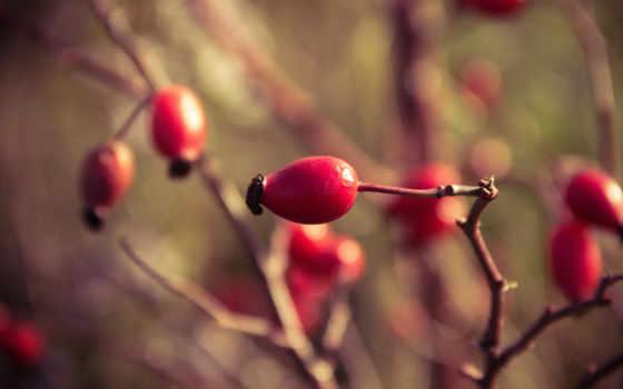 шиповник, ягоды, шиповника, branch,