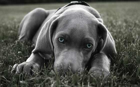 собака, порода, большой, щенок, веймаранер, shorthair, глаз, nice