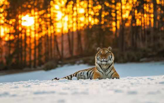 тигр, кот, lion, природа