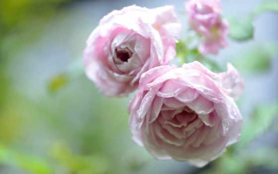 алая роза Фон № 27815 разрешение 1920x1200