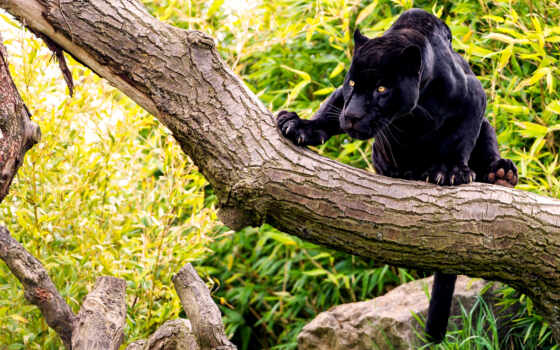 black, дерево, черная, jaguar, дереве, panther, кого,