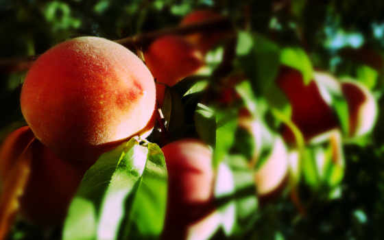 персики, персик, фрукты, макро, листва, ветке, благо,
