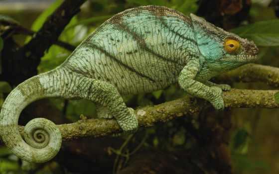 chameleon, branch, мадагаскар,