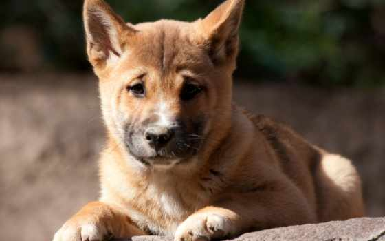 собака, new, guinea, пение, pinterest, rare, wild, this, dingo,