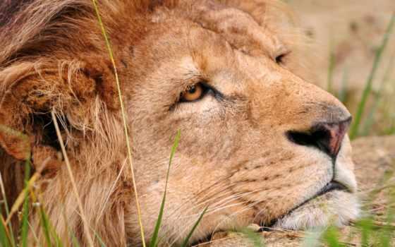 lion, грустный, льва, свой, львы,
