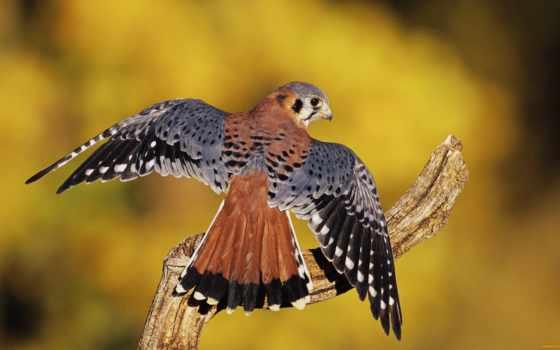 kestrel, птица, birds