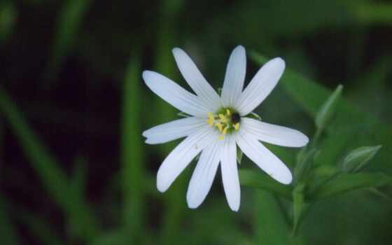aster, hairy, white,