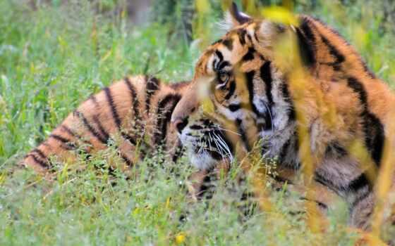 тигр, animal, tigre