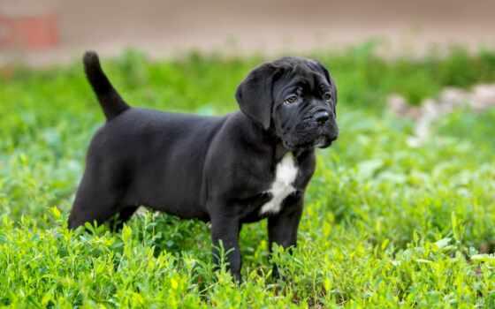 corso, kan, порода, щенок, собака