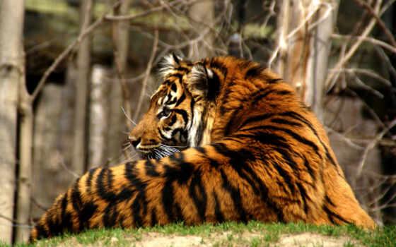 тигр, хищник, полосатый, кошка,