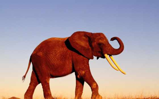 слоны, слон, zhivotnye