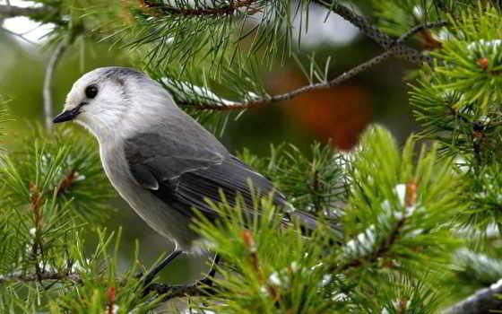 соловей, птицы, птица, птиц, серый, ветке, гора, zhivotnye,