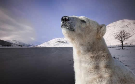 медведь, белый, windows