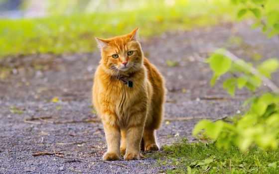 red, kot, tapety, dzwoneczek, pulpit, zieleń, tapet, кот, znajdziesz,