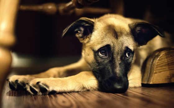 собака, полукровка, смотрит, грусть, настроение, печалька,