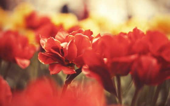 cvety, красные, макро, картинка, маки, розы, фотообои, заставки,