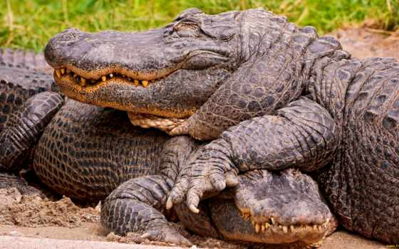 крокодил, крокодилы, капюшон