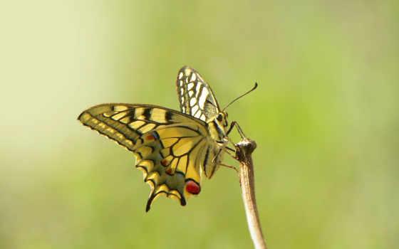 бабочка, макро, насекомое, фон, wings,