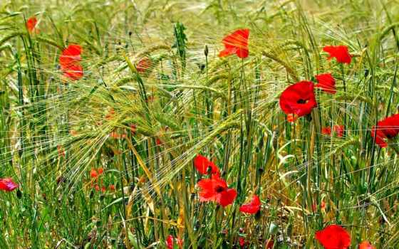 cvety, маки, поле, poppy, papaveri, маки, flowers, desktop,