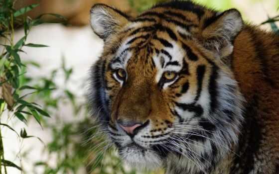 тигр, animal, tigre, смотреть, глаза, pes, tigris, panthera