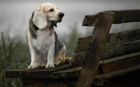 собака, beagle, profile, скамейка, картинка, объект, animal, narrow, тег