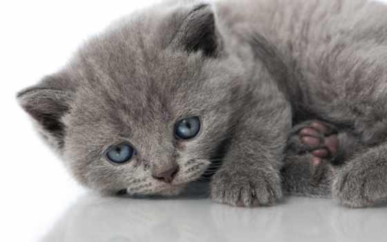 голубые, глаза, котенок