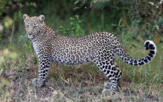 африка, животные, olivier