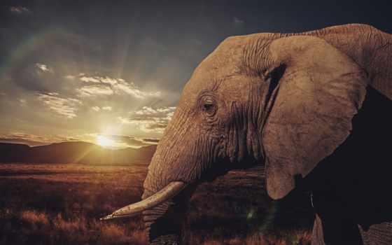 слон, саванна, животные