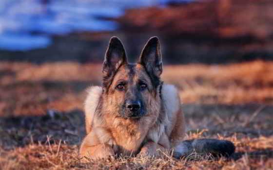 овчарка, немецкая, собака Фон № 108022 разрешение 1920x1080