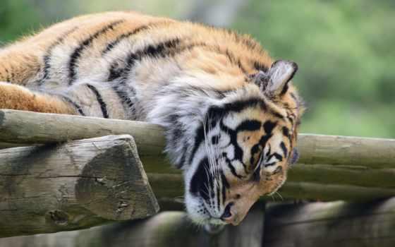 тигр, desktop, спать, тигры,
