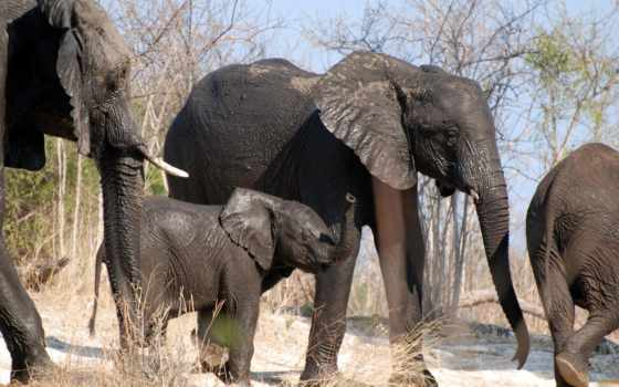 слоны, животные, слон