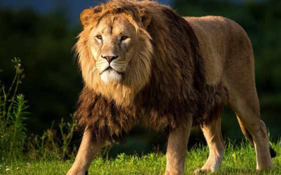 lion, взгляд, трава