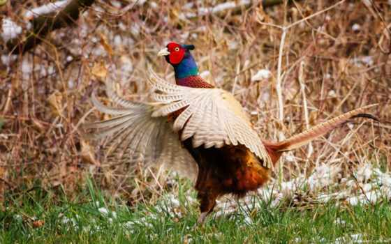 pheasant, animals, free