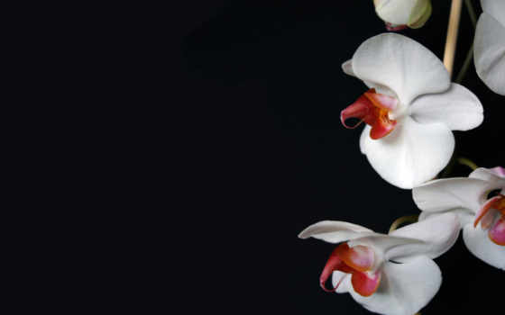 макро, орхидея, цветы